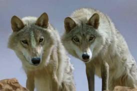 Attacco dei lupi nel senese. Salvini (Lega) interviene