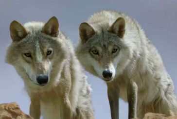 Piano lupo: qualcosa si muove
