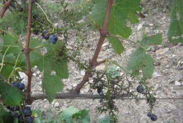 chianti storico uva mangiata da cinghiali 2 364x245 Home Page