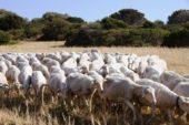 pecore 170x113 Home Page