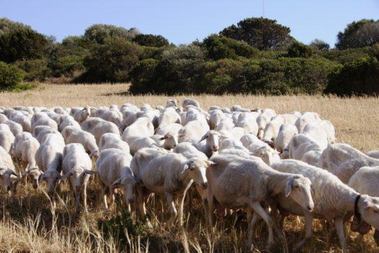 """Coldiretti: """"Agli allevatori senesi serve un piano toscano di rilancio del settore ovino"""""""