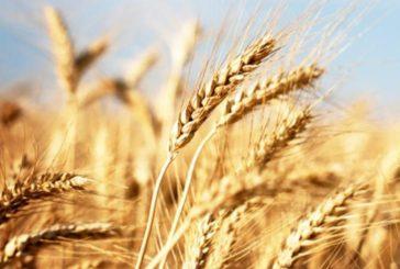 40 aziende del senese contro i cereali esteri e per la vera qualità