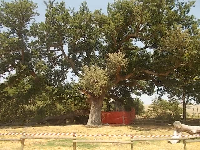 La Quercia delle Checche è un albero monumentale regionale