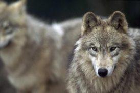 Lupi: favorire i rimborsi per gli attacchi dei predatori