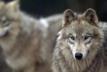 Piano lupo: non si può più attendere