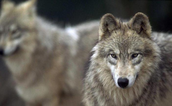 Attacchi di predatori, bando della Regione per risarcire i danni