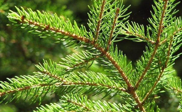 """Coldiretti: """"Non c'è Natale senza albero (vero)"""""""