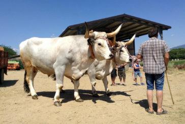 Chianina: le prospettive commerciali nei risultati del progetto Meat&Value