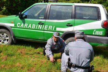 I Carabinieri Forestali recuperano la carcassa di un lupo