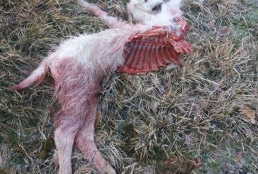 Chiusi: il sndaco chiede che si possano abbattere i lupi