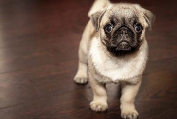 L'importanza del collare antiparassitario per i cani