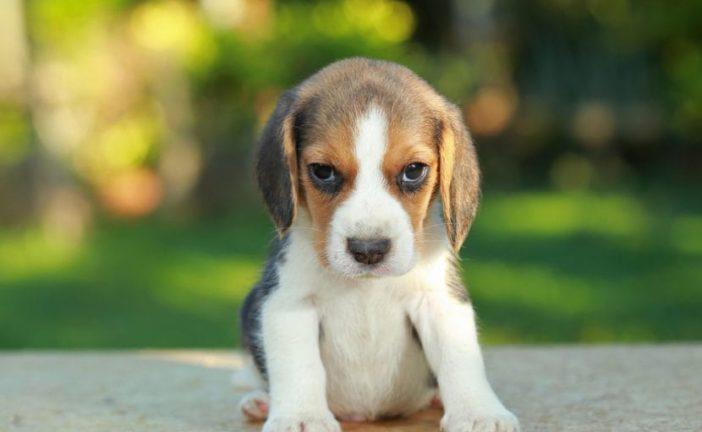 Torna il Bau Bau etrusco: tanti cani in mostra