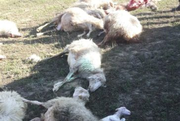 Attacco di lupi ad Asciano: uccisi pecore e agnelli
