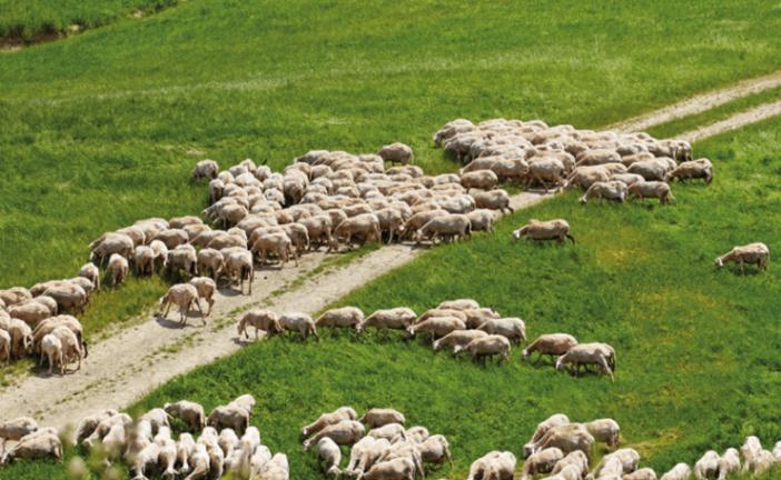 Coronavirus. Pecorino senese: pastori e piccoli caseifici allo stremo