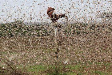 L'ottava piaga d'Egitto: l'invasione delle locuste