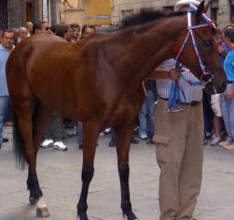 Palio: 57 cavalli al lavoro a Monteroni