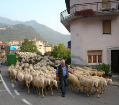 Transumanza, quando le pecore passavano da Piazza del Campo