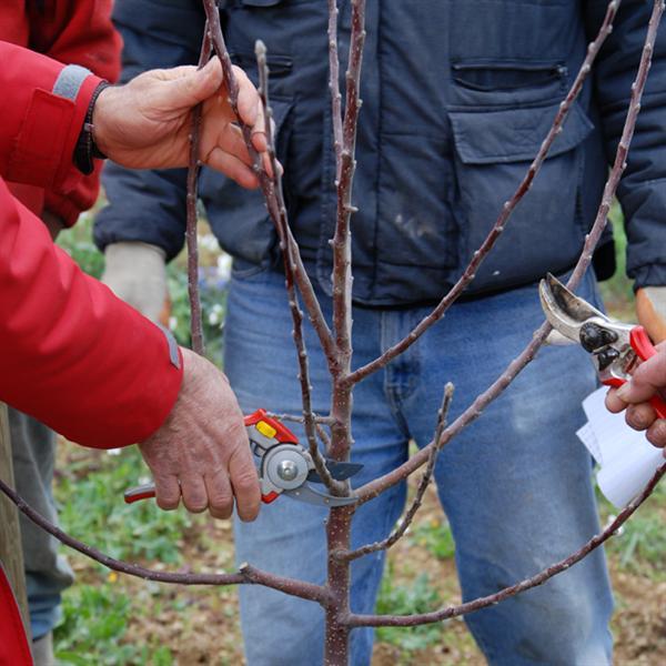 Olivo, corsi di potatura per agricoltori ed hobbisti in provincia di Siena