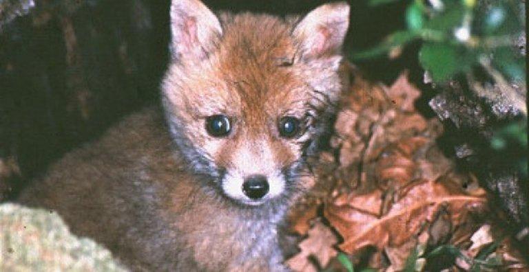 """Rosso (PdL): """"No alla caccia ai cuccioli di volpe"""""""