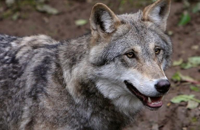 Toscana afflitta dalle predazioni di lupi