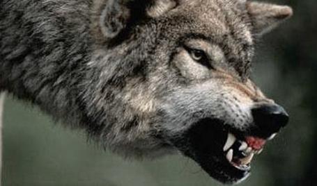 Assalti dei lupi: la Regione stanzia 100mila euro per sistemi dissuasivi