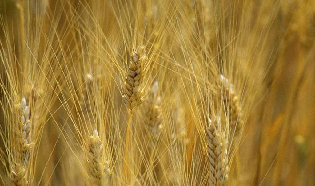 """Coldiretti: """"Etichettatura obbligatoria, passo da gigante per il grano senese"""""""