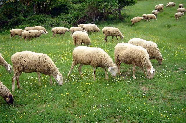 Dalla Regione 2 milioni di euro per gli ovini