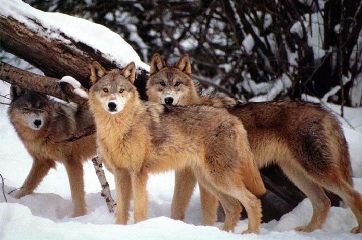 Attacchi predatori: dalla Regione un piano biennale di interventi