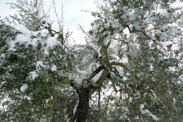 Murlo presenta il progetto pilota per il recupero degli oliveti abbandonati
