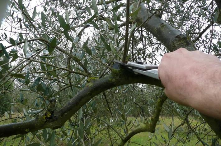 Olivo: corso di potatura per agricoltori e hobbisti