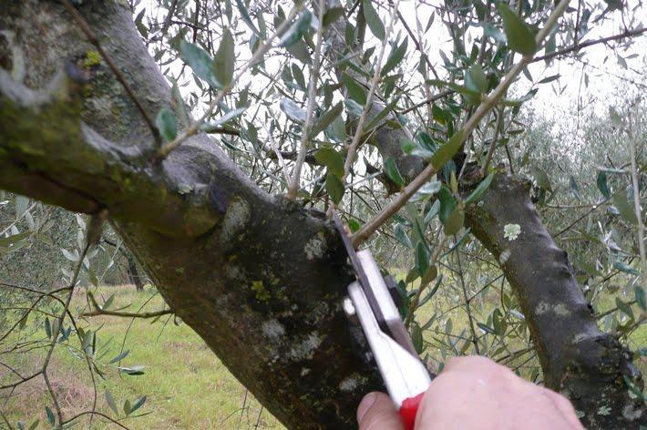 Corsi di potatura dell'olivo Cia: come e dove prenotarsi