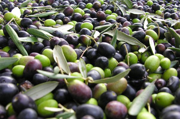 """Cia: """"Calo di produzione di olive, ma buona qualità di olio"""""""