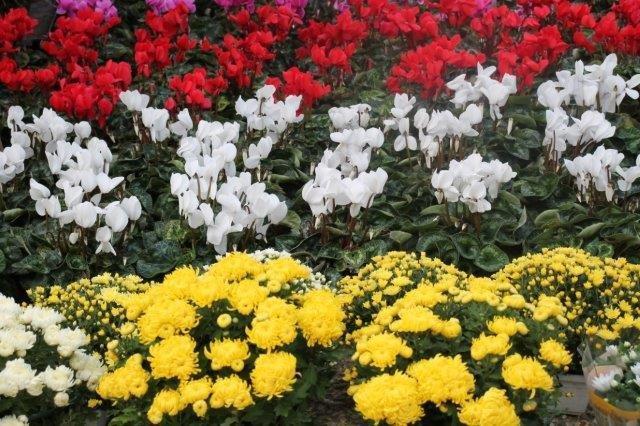 siena in fiore autunno 27 - 28 ottobre 2018 (14)