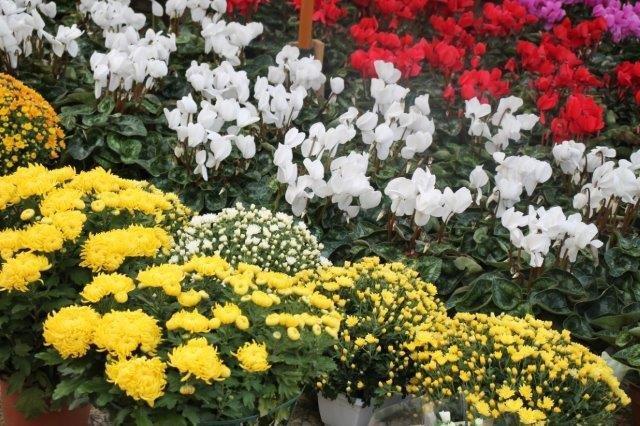siena in fiore autunno 27 - 28 ottobre 2018 (15)