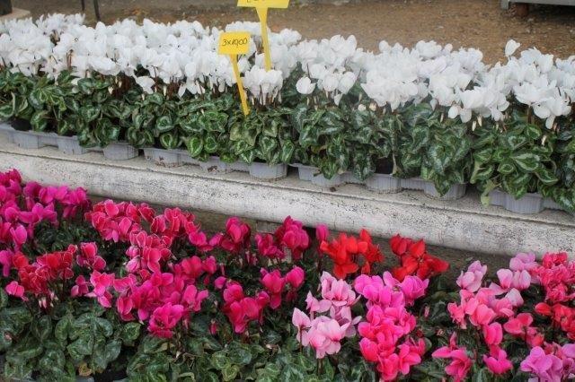 siena in fiore autunno 27 - 28 ottobre 2018 (48)